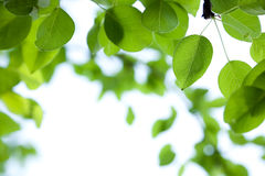 Green leaves border. Pear. Green leaves border with bokeh background Stock Photos