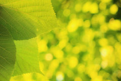 Green leaves border. Summer sunny theme. Green leaves border. Green leaves close-up. Green vivid bokeh background Royalty Free Stock Image
