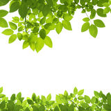 Green Leaves Border on white Royalty Free Stock Photography