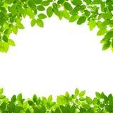 Green leaves border on white Stock Photo