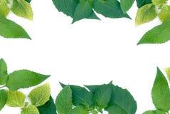 Green leaves border. On white background Stock Images