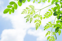 Green leaves. From the bottom up past the sun and sky Royalty Free Stock Photography