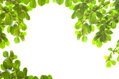 Green leaves from bottom view Royalty Free Stock Image