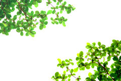 Green leaves from bottom view Royalty Free Stock Images