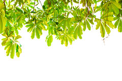 Green leaves bottom view, isolated. Fresh green leaves bottom view, isolated Royalty Free Stock Photos