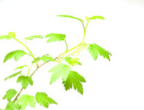 Green leaves branch Stock Photos