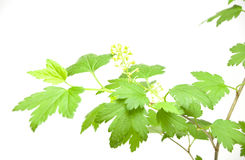 Green leaves branch Royalty Free Stock Image