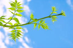 Green leaves on a branch royalty free stock images
