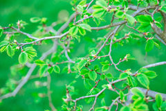 Green leaves. On the branch Stock Photography