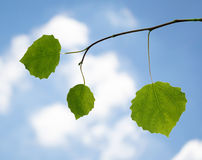 Green leaves on a branch against the sky Stock Photography