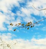 Green leaves on a branch with blue sky and white clouds stock photo