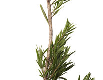 Green leaves and branch of bottle brush tree isolated on white background Stock Image