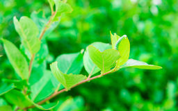 Green leaves on branch Royalty Free Stock Photos