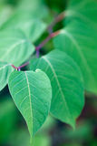 Green leaves on a branch close-up Royalty Free Stock Photos