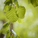 Green leaves. Branch with fresh green leaves Royalty Free Stock Photos