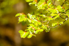 Green leaves on branch of hazelnut filbert tree. Stock Photography