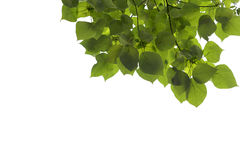 Green leaves and branch isolated on white background Royalty Free Stock Image