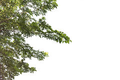 Green leaves and branch isolated on white background Stock Photo