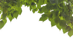 Green leaves and branch isolated on white background Royalty Free Stock Images