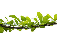 Green leaves on branch isolated on white background Royalty Free Stock Photos