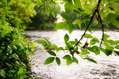 Green leaves on branch over quiet river waters. Summer landscape Stock Images