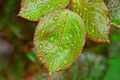 Green leaves on a branch of a rose bush with water drops. Wet green leaves on a branch of a rose bush with water drops stock photo