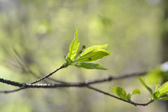 Green leaves. On branch in spring Stock Photography