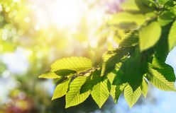 Green leaves on a branch with the sun in the background Royalty Free Stock Images