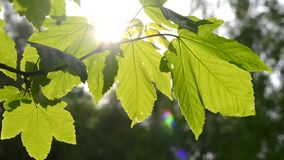 Green leaves on a branch with the sun close up stock video footage