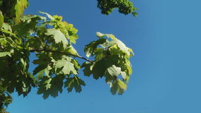 Green Leaves on a Branch. Tree branch with green leaves against the blue sky stock video