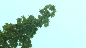 Green Leaves on a Branch stock footage