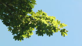 Green Leaves on a Branch stock video footage