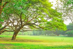 The green leaves branches of big Rain tree covering on green grass lawn under cloudy sky, trees on background stock photo