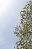 Green leaves on branches and blue sky. Green leaves in spring with blue sky background Royalty Free Stock Photography