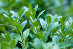 Green leaves on branches of buxus in summer Royalty Free Stock Images