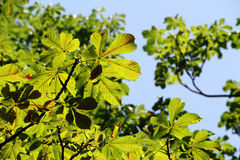 Green leaves and branches of horse chestnut Royalty Free Stock Images