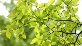 Green Leaves On Branches stock footage