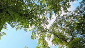 Green leaves and branches on tree waving in the wind. Blue sky with clouds on background. Camera rotating, view from down to the top. Taken on summer sunny day stock video footage