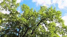 Green leaves and branches on tree waving in the wind. Blue sky with clouds on background. Camera rotating, view from down to the top. Taken on summer sunny day stock video