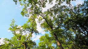 Green leaves and branches on tree waving in the wind. Blue sky with clouds on background. Camera rotating, view from down to the top. Taken on summer sunny day stock footage