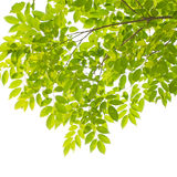 Green leaves and branches Stock Image