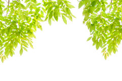 Green leaves and branches Royalty Free Stock Photography
