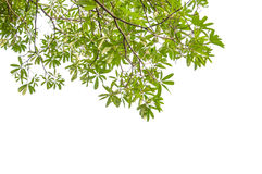 Green leaves and branches. On white background Royalty Free Stock Photos