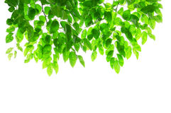 Green leaves and branches on white background with Stock Photography