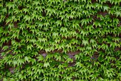 Green leaves on a brick wall royalty free stock photos