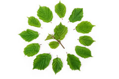 Green leaves bright pattern in round shape on white. Flat lay, top view Royalty Free Stock Image