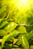 Green leaves and bright sun Royalty Free Stock Photography