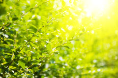 Green leaves and bright sun. Saturated colors Stock Image
