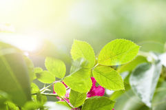 Green leaves and bright sun Royalty Free Stock Photos