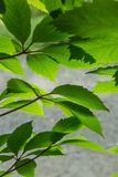 green leaves in bright sunlight royalty free stock photos